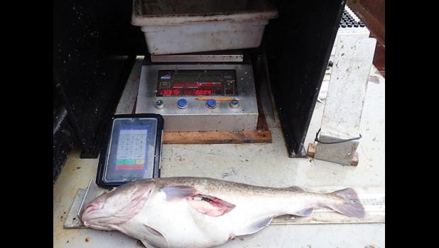 GIVING TO SCIENCE—A large Pacific Cod specimen caught just south of Little Diomede Island is being weighed and measured prior to collection of otoliths (ear bones) for determining the age of the fish and its overall condition.
