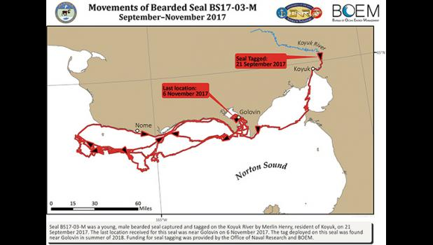 Movements of the bearded seal per its tracker.