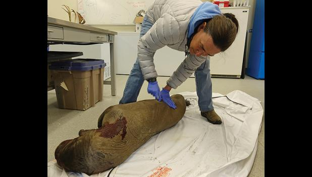 FOUND DEAD — This male walrus calf was one of two that washed up dead on the beaches of Nome last week. Gay Sheffield with UAF Alaska Sea Grant prepares the calf to be sent to the North Slope Borough Dept. of Wildlife Management for a full examination of its condition and to learn the cause of death. If you see unusual conditions or death in marine wildlife, please contact Brandon Ahmasuk (Kawerak) 443-4265 or Gay Sheffield 434-1149.