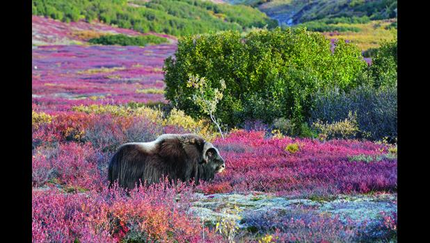 Musk oxen have become a problem for tied up dogs in the recent years in Nome.