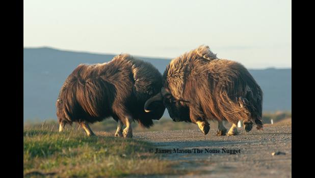 NOT TO TRIFLE WITH— Two musk oxen square off at the Nome cemetery recently. The animals are in a long drawn-out rut, making long bulls dangerous adversaries not only for their own kind, but also for dogs.