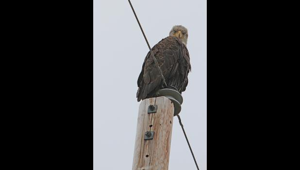 This bald eagle was seen for several days at the Beam Road near mile 6.